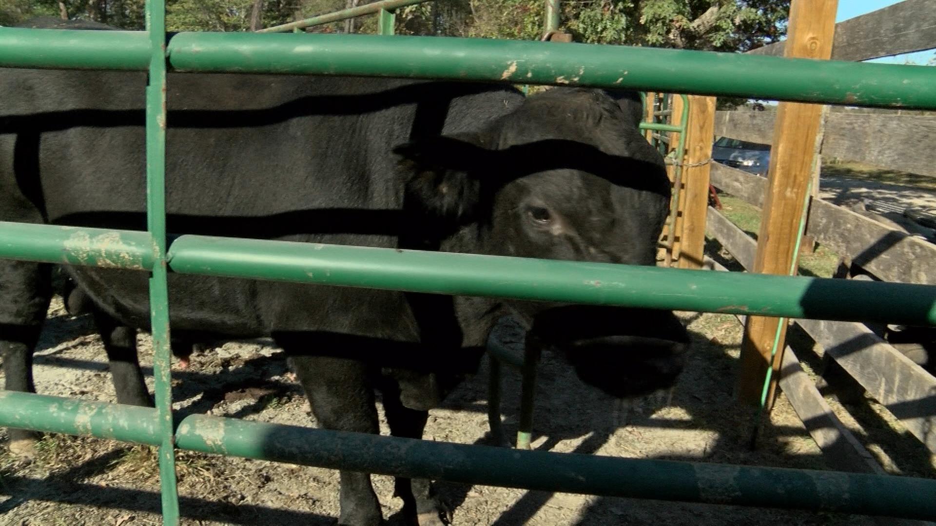 cattle_1477793066331.jpg