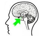 amygdala_1478485884886.PNG