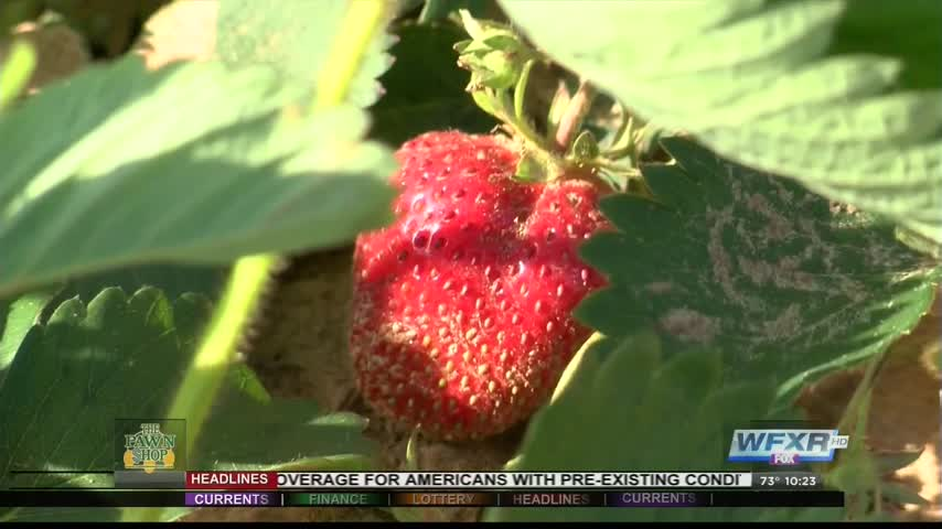 Ag Life- Strawberry farms prepare for season_97320920