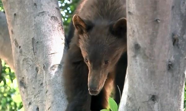 Bear in a tree_1493772811145-159532.jpg01530570