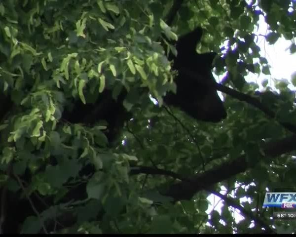 Bear in tree in downtown Roanoke_20054991