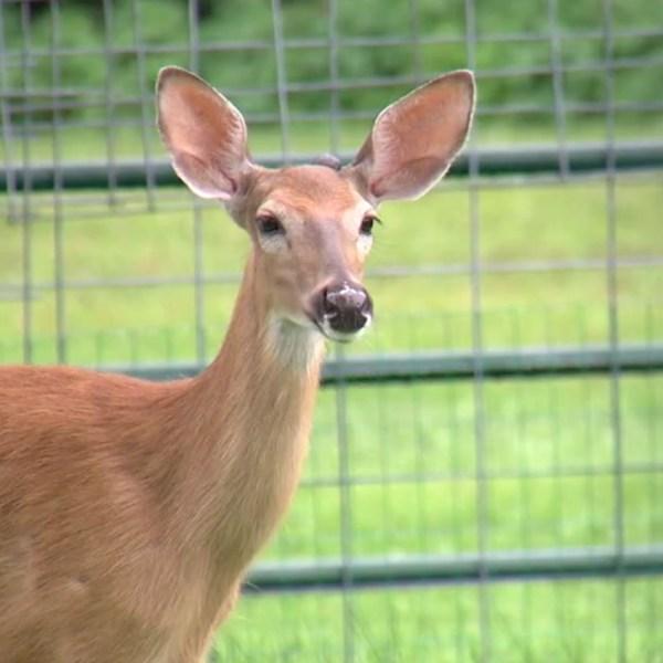 wfxr deer web_1497575698635.jpg