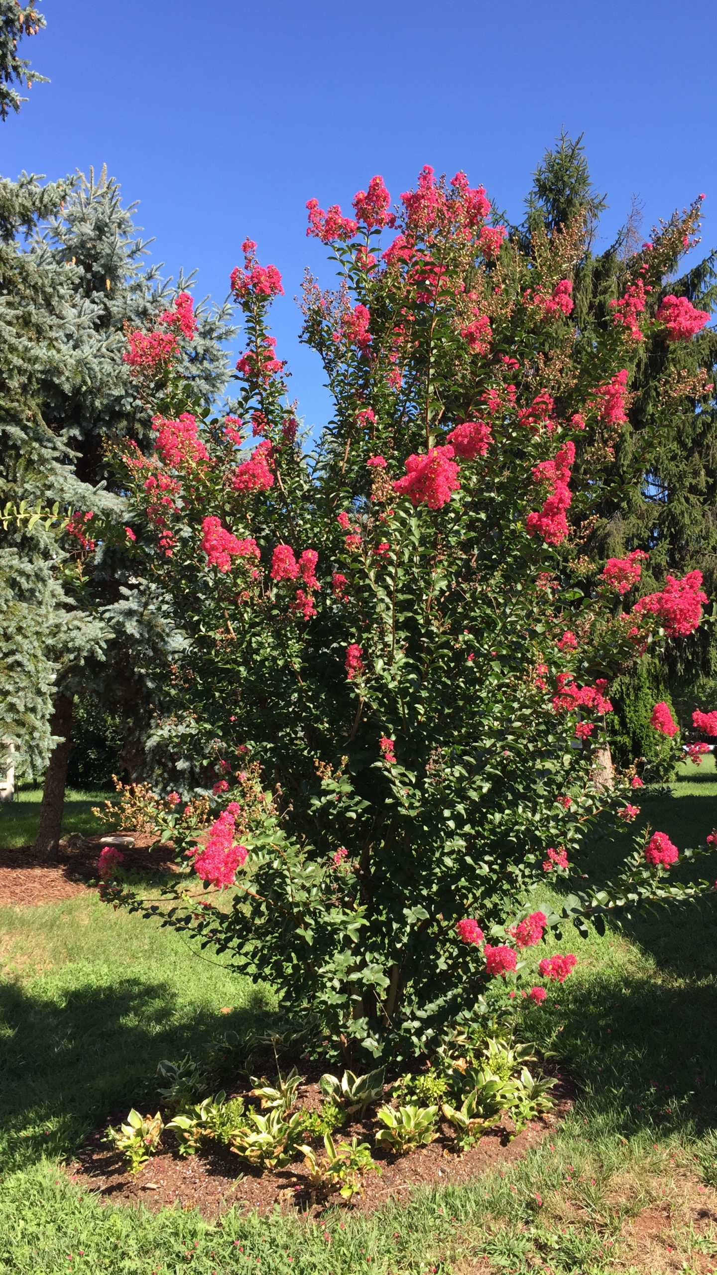2016-08-07_10_11_08_Crape_Myrtle_in_full_bloom_along_Tranquility_Court_in_the_Franklin_Farm_section_of_Oak_Hill,_Fairfax_County,_Virginia_1521626058768.jpg