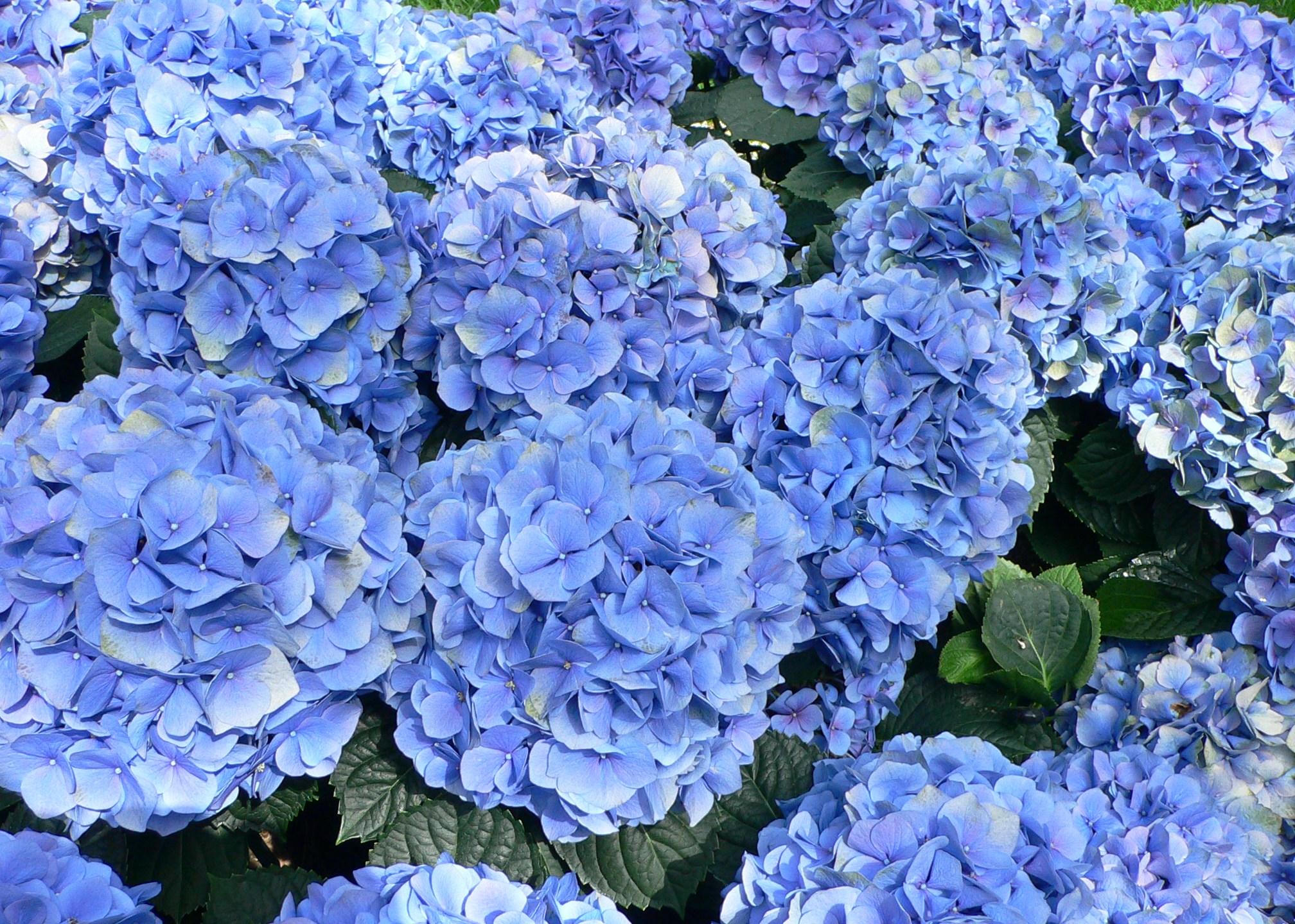 Hydrangea_macrophylla_-_Hortensia_hydrangea_1521626248528.jpg