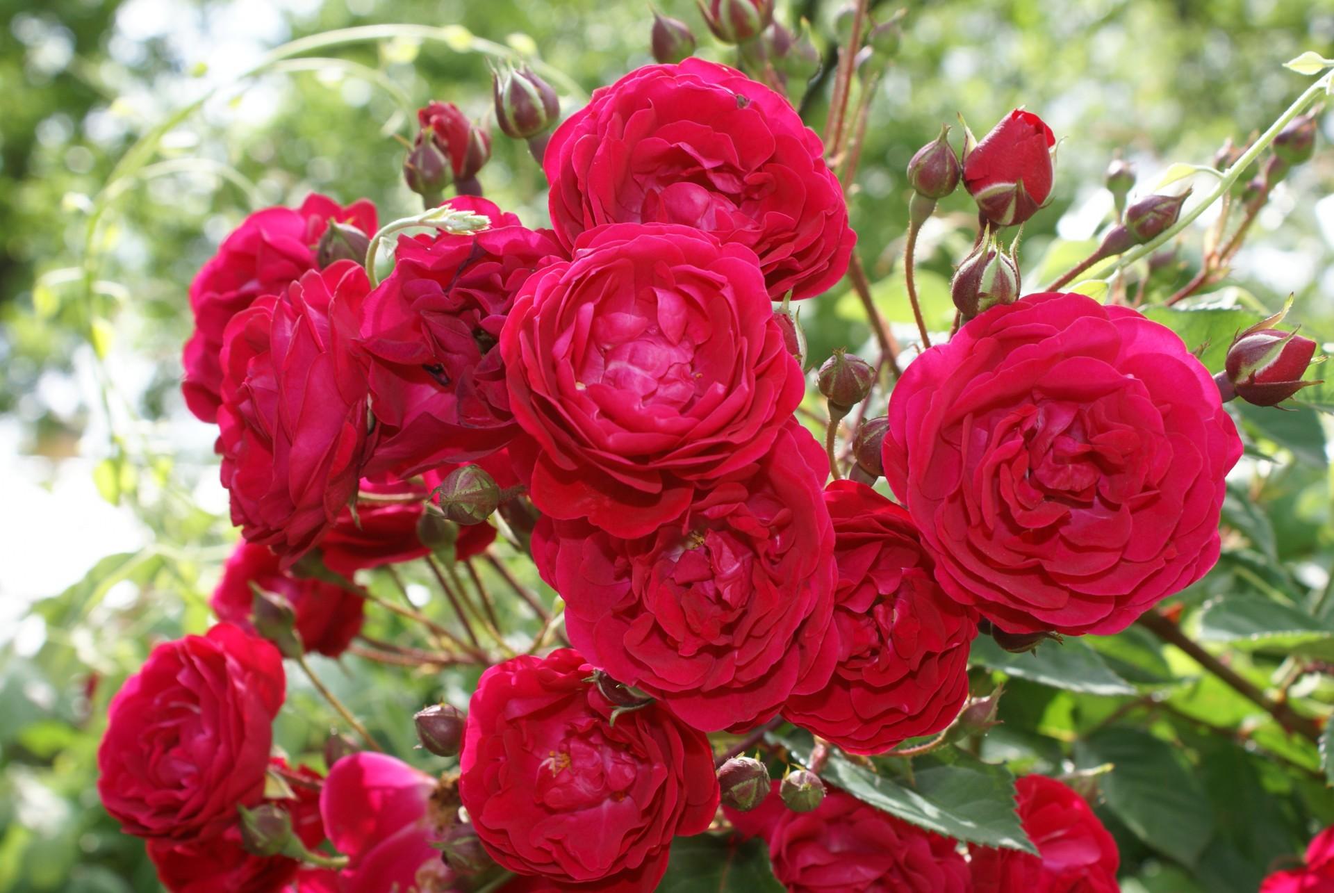 red-rose-bush_1521627003769.jpg