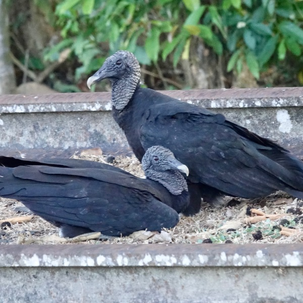 Black vultures are invading West Virginia. (Photo: Courtesy Wikimedia Commons)