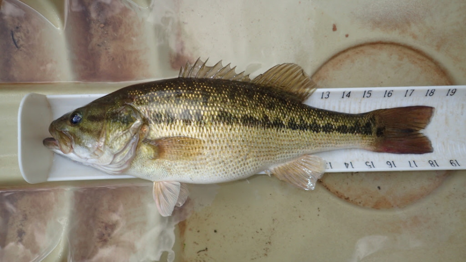 (Photo: Courtesy of the iNaturalist Angling for Black Bass Conservation Project via the Virginia Department of Game and Inland Fisheries)