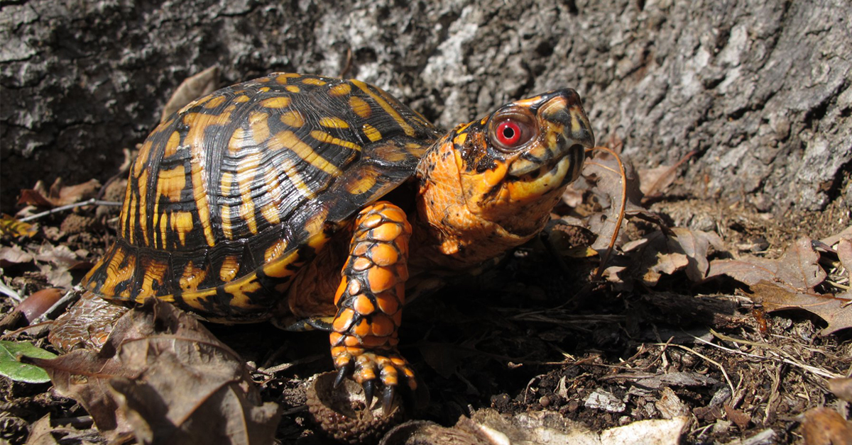 Eastern Box Turtle Census Project