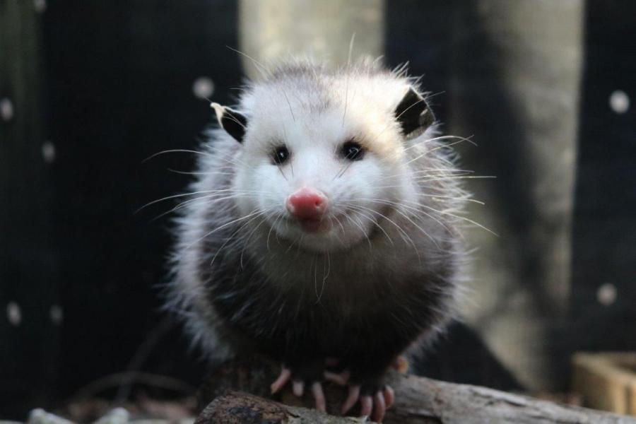 (Photo: Courtesy Wildlife Center of Virginia)